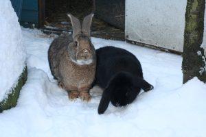 Kaninchen draussen bei klirrender Kälte und Minusgraden